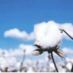 品質の良い新疆の綿花